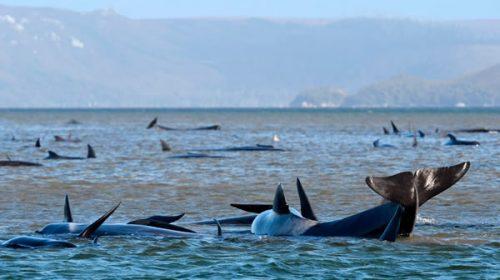Más de 250 ballenas quedaron varadas en Australia e intentan salvarlas